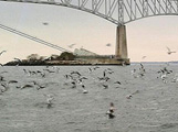 Birds-Stripers at Chesapeake Bay Bridge Tunnel