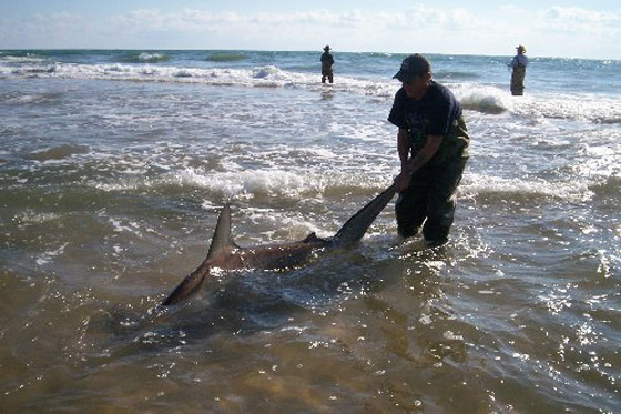Shark at Cape Hatteras